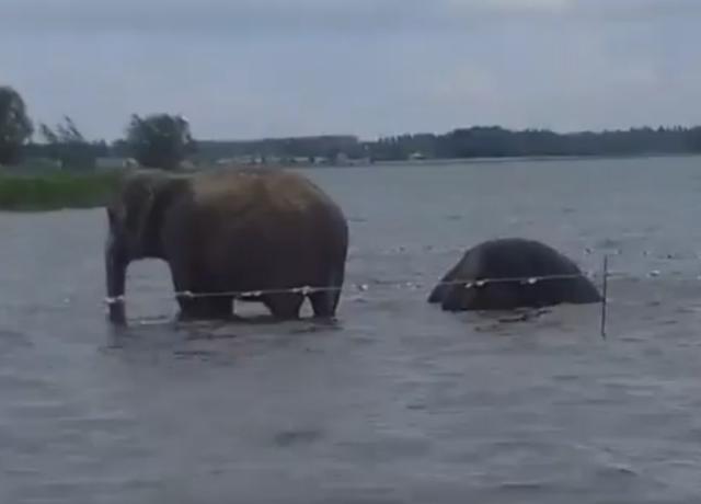Слоны искупались возере Смолино вЧелябинске