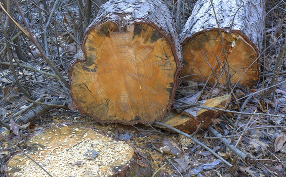 Упавшая сосна раздавила рубщика леса вЧелябинской области